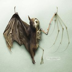 Bat Anatomy by Peter Lippmann taxidermy Bat Illustration, Bat Anatomy, Bat Skeleton, London Poster, Animal Skeletons, Fruit Bat, Live Animals, Animal Bones, Bioshock
