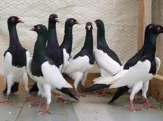 magpie pigeon - Google Search