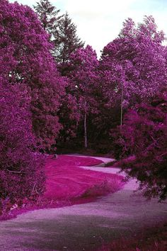 Forest of Purple Flowers