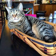 This cat shows us his patriotic pride!
