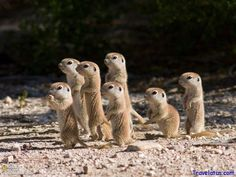 South African ground squirrels