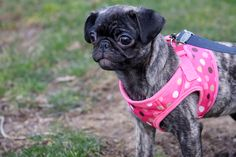 Brindle pug, who knew there was this color!! How cool!