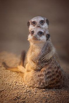 Meercat hugs