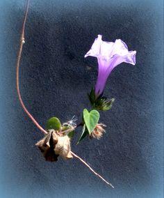 A simple, beautiful flower, Alto Paraiso, Goias.