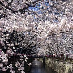 昨日の目黒川 今日もきっとキレイ!  #目黒川 #桜
