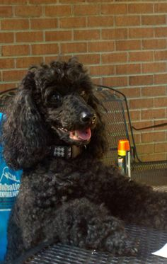 Maddie Jane, our miniature poodle