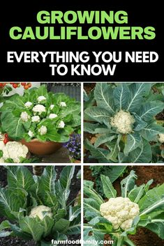 Growing cauliflower - How To Grow Cauliflower (Ultimate Guide) Everything You Need To Know Growing Cauliflower, Cauliflower Plant, Vegetable Garden Tips, Herb Garden, Garden Gate, Potager Garden, Veggie Gardens, Terrace Garden, Garden Bed