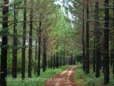 pine forest, 'Eua