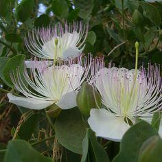 Caper Bush (Capparis Spinosa)