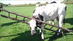 Essa menina que achou melhor passar por entre uma escada do que por baixo dela. | 19 vacas que não sabem mais como ser vacas