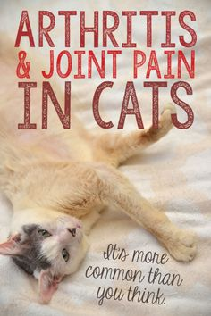 Arthritis and Joint Pain in Cats: It's More Common Than You Think. Here's what to look for and how you can help your feline friend who may be experiencing joint pain.