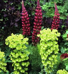 No cottage garden is complete without its towers of lupins - 'The Pages' is a rich carmine-pink variety.