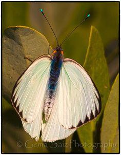 Butterflies of the Everglades