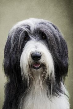 Bearded Collie with beautiful expression. Very classic!