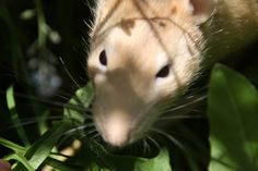 Balade des rats au soleil Les Rats, Animals, Dumbo Rat, Ride Or Die, Sun, Animales, Animaux, Animal, Animais