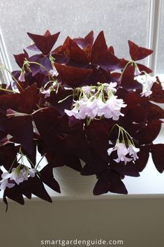 Oxalis triangularis care guide, covering all aspects of care. Also known as Purple Shamrocks, this is one of my favorite houseplants, and really easy to care for. Indoor Flowering Plants, Blooming Plants, Shamrock Plant, Oxalis Triangularis, Purple Shamrock, Powdery Mildew, Smart Garden, House Plant Care, Garden Guide