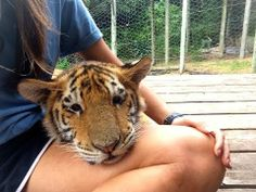 Chilling with a tiger