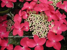 Hydrangea macrophylla 'Lady in Red'.  Amazing fall color, needs little pruning, has red stems, hardy and easy care plant.