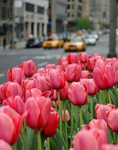 Tulips in New york