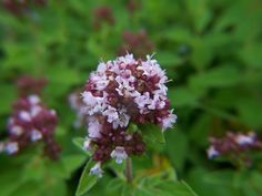 Marjoram and oregano have sweet summertime blooms that bees and butterflies love