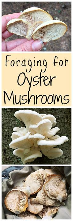 for Oyster Mushrooms Foraging for delicious oyster mushrooms is easy and fun!Foraging for delicious oyster mushrooms is easy and fun! Edible Wild Mushrooms, Garden Mushrooms, Growing Mushrooms, Stuffed Mushrooms, Mushroom Identification, Edible Wild Plants, Mushroom Hunting, Mushroom Fungi, Edible Food