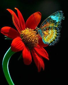 Rainbow Flutter-by on a red flower