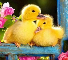 Bird Beauties, Easter, new life, yellow ducklings