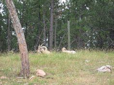 Bighorn sheep - Bear Country USA - Rapid City, South Dakota.