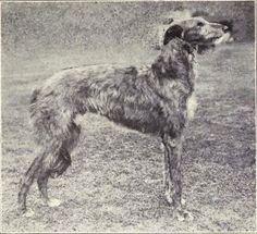Scottish Deerhound, 1915