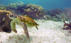 Green turtle - Ambergris Caye Belize