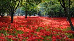 Red Spider Lily habitat in Korea.