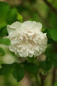 Hybrid Rugosa Rose: Rosa 'Souvenir de Philémon Cochet' (France, before 1899)
