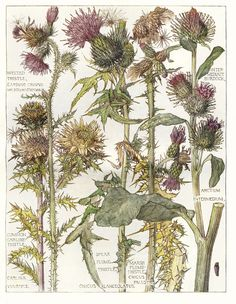 Thistles -  Wild Flower Botanical Print by Isabel Adams - Antique Print