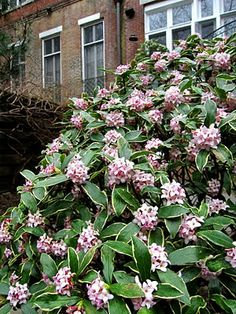 Variegated Winter Daphne (Daphne odora). Larger shrub, heavenly fragrance in late winter. 3-4' H x 4-5' W