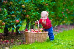Child picking apples on a farm. Little boy playing in apple tree orchard. Kids pick fruit in a basket. Baby eating healthy fruits at fall harvest. Outdoor fun for children. Kid with a basket. Stock Photo - 41386572