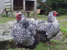 Pour tout savoir de la Wyandotte, jolie poule au plumage original, réputées bonne pondeuse et bonne couveuse. Grande race ou naine, rustique, volant peu, elle a sa place dans la basse-cour.