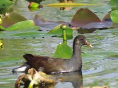 Bird Photos, Birding Sites, Bird Information: JUVENILE COMMON GALLINULE, EVERGLADES NATIONAL PAR...