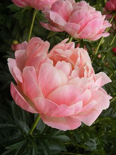 I would love to have an actual flower garden and be able to grow peonies! #PinMyDreamBackyard