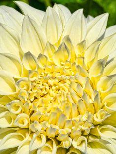 White Dahlia flower art print wall decor delicate flower for her