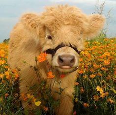 Cute Baby Cow, Baby Cows, Cute Cows, Cute Babies, Baby Elephants, Cute Creatures, Beautiful Creatures, Animals Beautiful, Pretty Animals