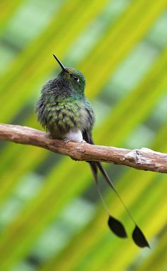 Booted Racket-tail Photograph by Juan Jose Arango