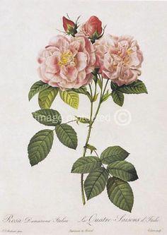 Damask Rose Redoute Flower ART Vintage Botanical Poster   eBay