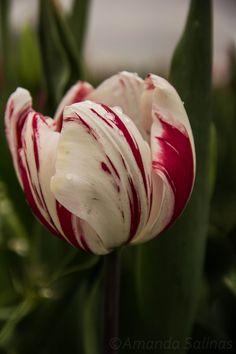 Semper Augustus Tulip img_1141.jpg (2592×3888)