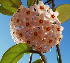 Hoya Carnosa. I have this one and the flowers are exquisite and smell amazing. Do not remove the flower stem, this is where the flowers will continue to bloom. Made that mistake once, and it did not ever flower again.