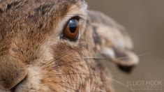 Brown Hare Close Up A close up of a brown hare (Lepus europaeus) taken on Havergate Island, Suffolk