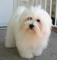 coton-de-tulear. Didn't know where to put this but I've always wanted and cotton dr tulear puppy.