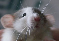 I know most people hate rats, but they actually make very good pets. They are very smart and even affectionate. Hamsters, Pet Rodents, Animals And Pets, Baby Animals, Cute Animals, Small Animals, Beautiful Creatures, Animals Beautiful, Rats Mignon