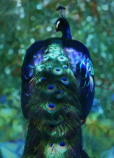 Peacock Photograph - The Persian Bird by Kandy Hurley Pretty Birds, Beautiful Birds, Animals Beautiful, Peacock Bird, Peacock Colors, Exotic Birds, Colorful Birds, Animals And Pets, Cute Animals