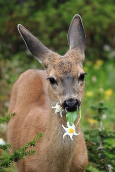 Mount Rainier National Park, Deer In The Wild Flowers by Pierre Leclerc Photography Beautiful Creatures, Animals Beautiful, Cute Animals, Beautiful People, Mundo Animal, My Animal, Animal Babies, Roe Deer, Mount Rainier National Park