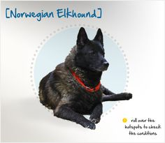 Winter weather is no problem for the Norwegian Elkhound. This sturdy dog has been bred for more than 6,000 years to hunt elk, bear and other large wild animals in Arctic conditions and has a soft, dense undercoat meant to protect her from harsh weather.